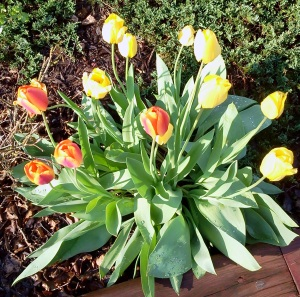 tulip potential blooming