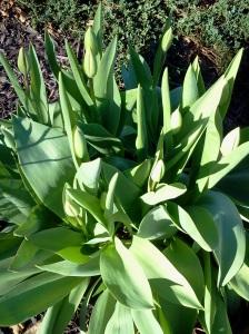tulip potential