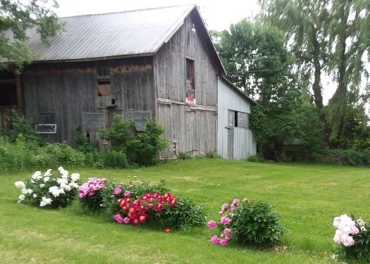 peonies-with-barn.jpg